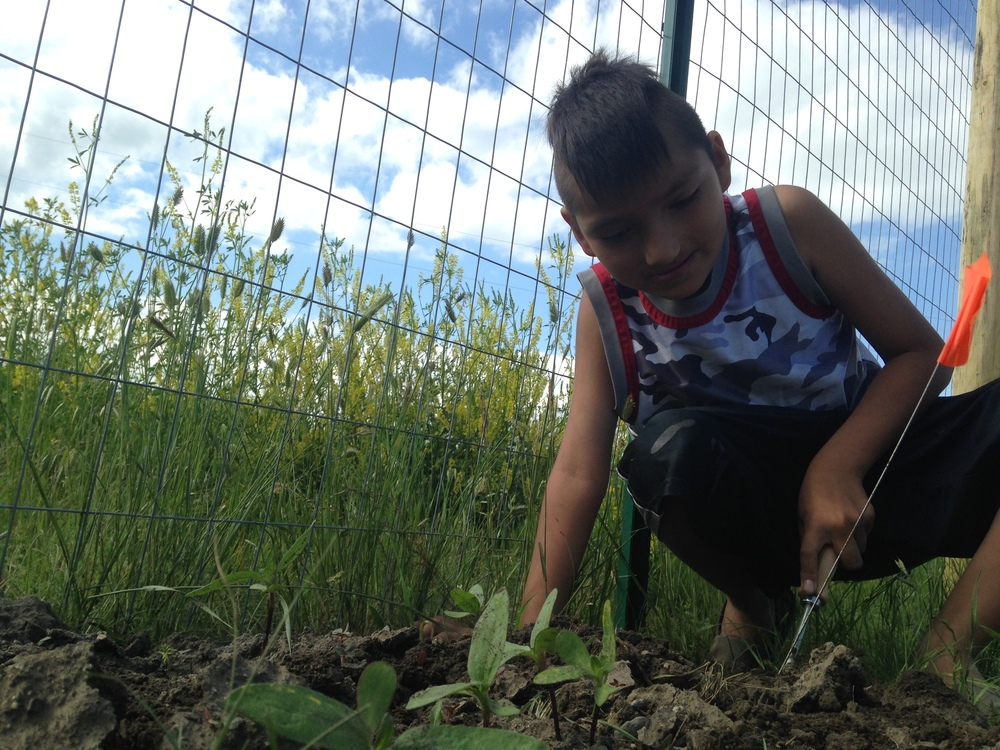Weeding the sunflowers! (June 2014, A. Gross)