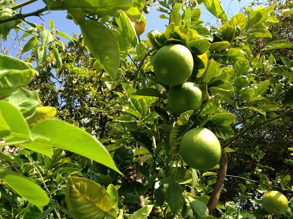 Garden limes in Santa Ana Yareni