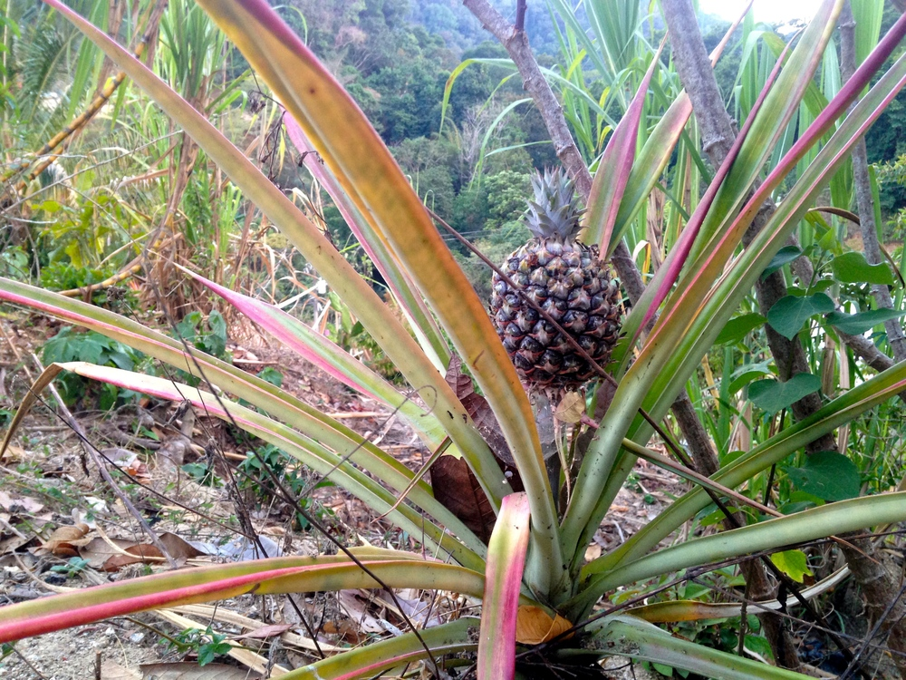 Pineapple in Santa Maria Tepexipana