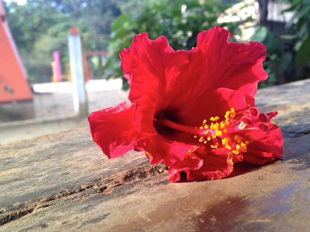 A hibiscus gift from a new friend, outside my temporary kitchen window in Santa Maria Tepexipana