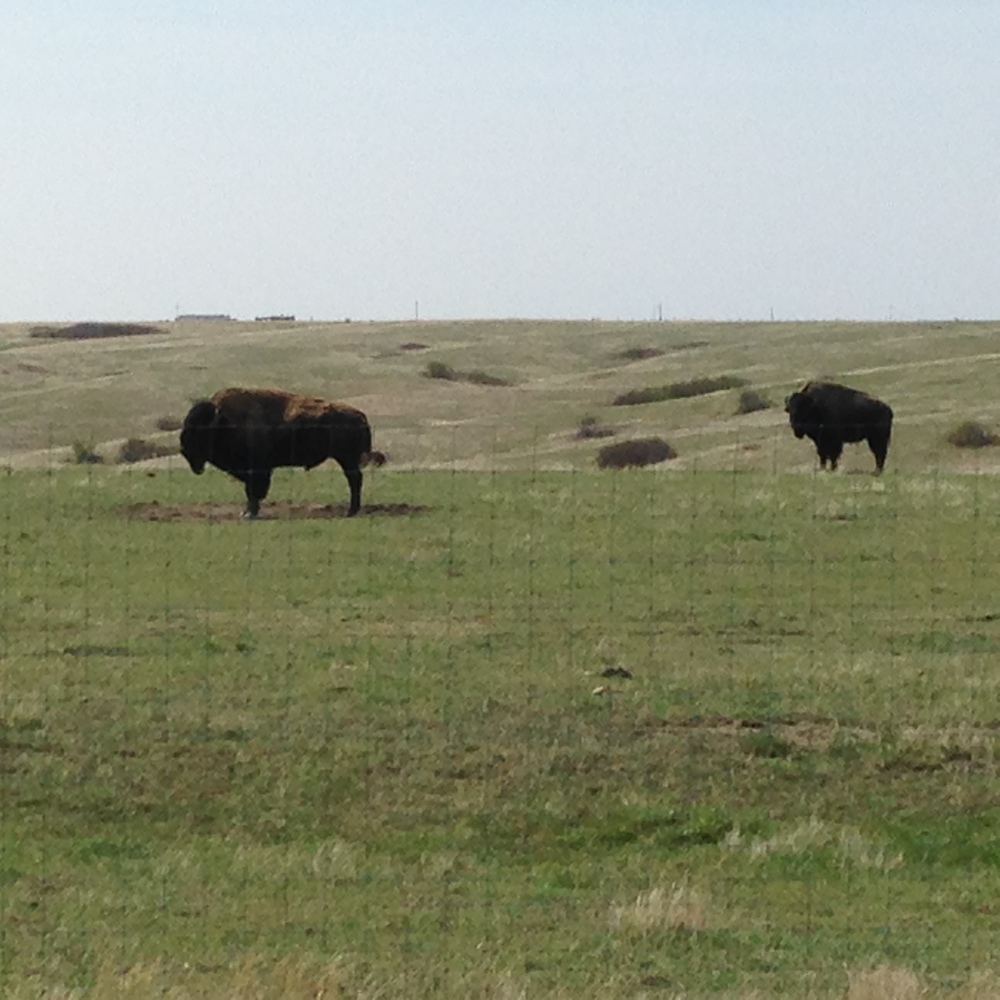Two buffalo bulls, part of the Tribe's 800-member herd, grazing on grass on the Cheyenne River Reservation (A. Gross, July 2014)