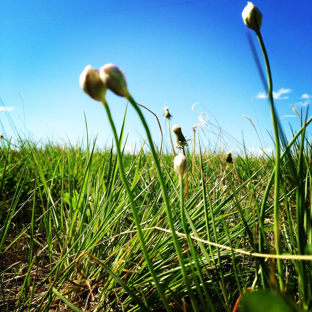 Wild edibles: Wild onions dot the grasslands in La Plant in early June. (A.Gross, June 2014)