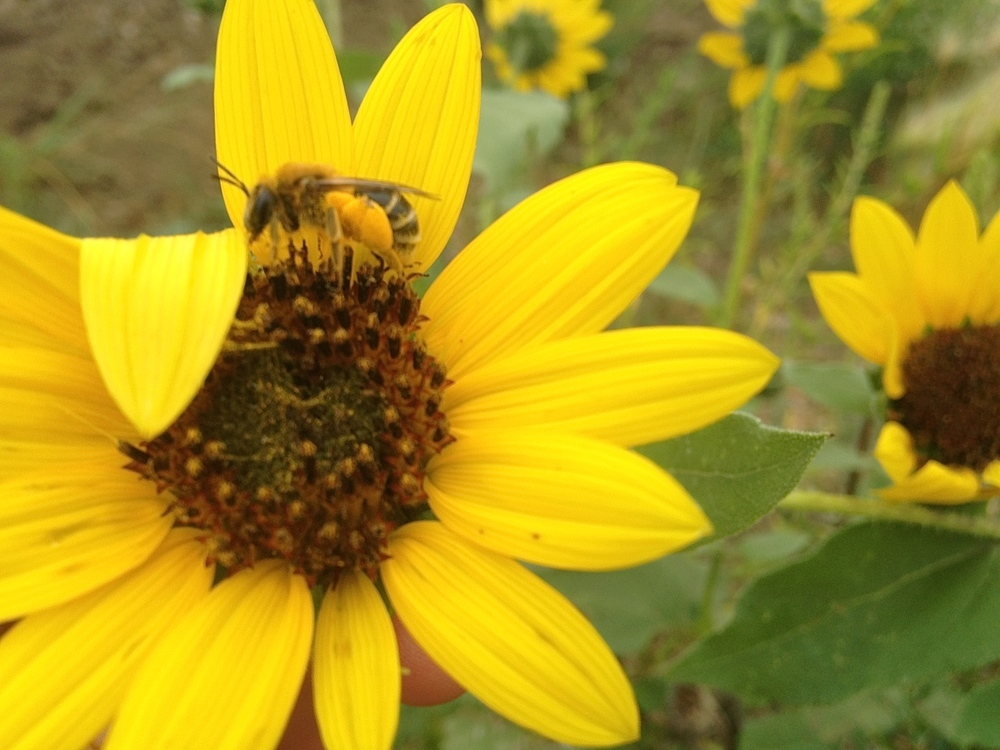 Native pollinators collect pollen on sunflowers in the native flower garden in La Plant (A.Gross, August 2015)
