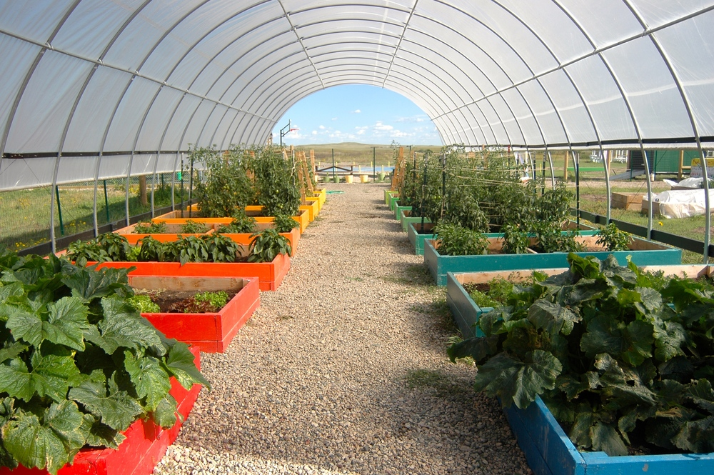 The peak of harvest: The high tunnel, in full bloom, as part of the La Plant Grows Its Own Food! initiative (A.Gross, August 2014)