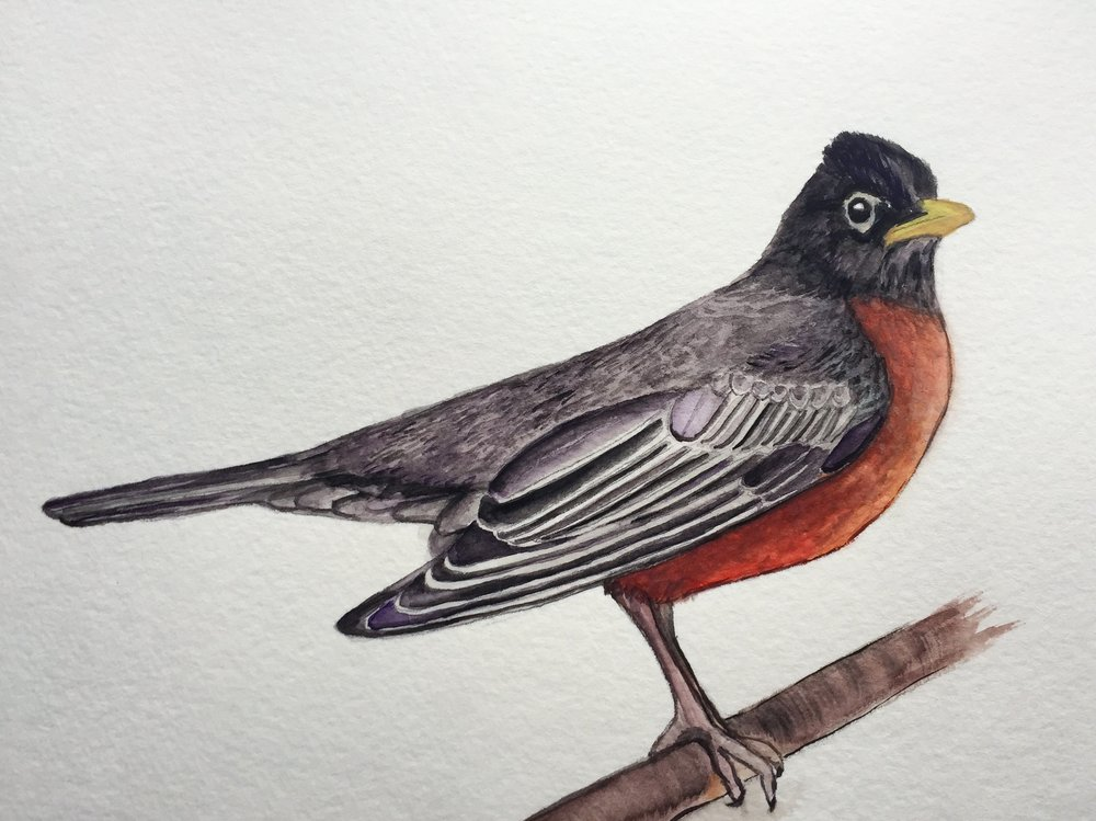 American Robin: Turdus migratorius by Jill Verzino as part of her Daily Avian project