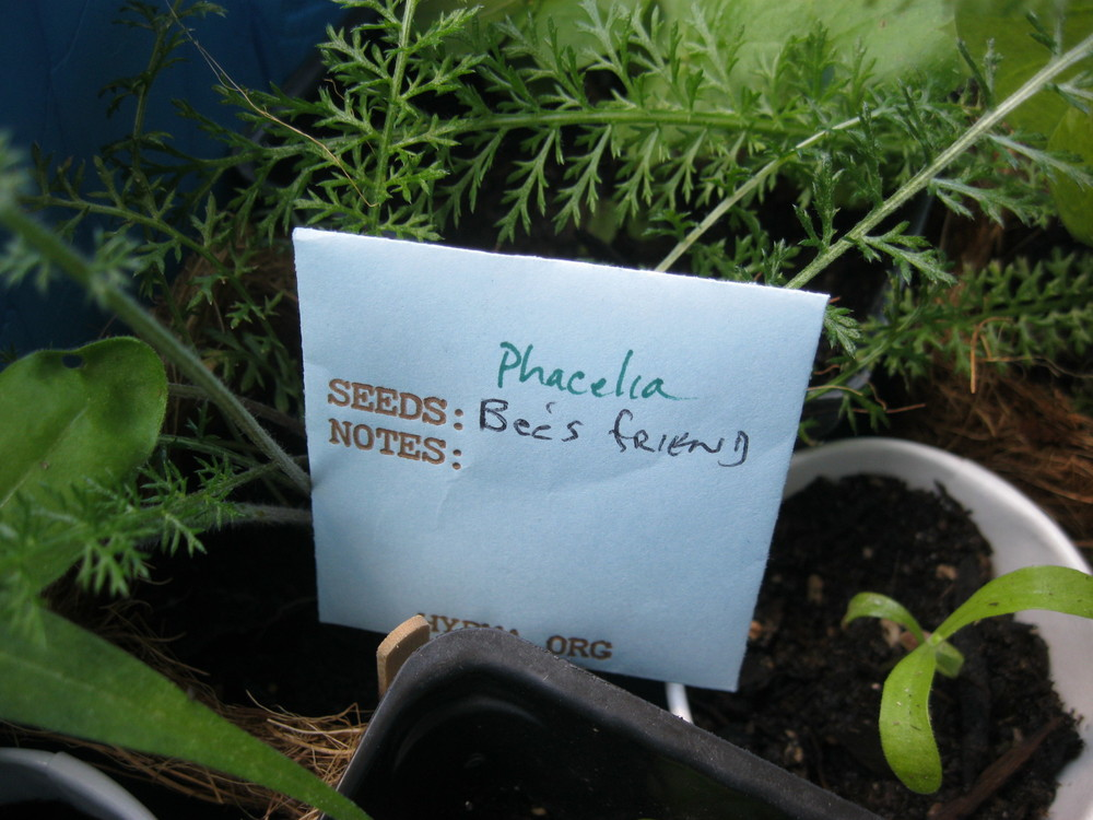 A seed packet of Phacelia, a favorite plant of bees.