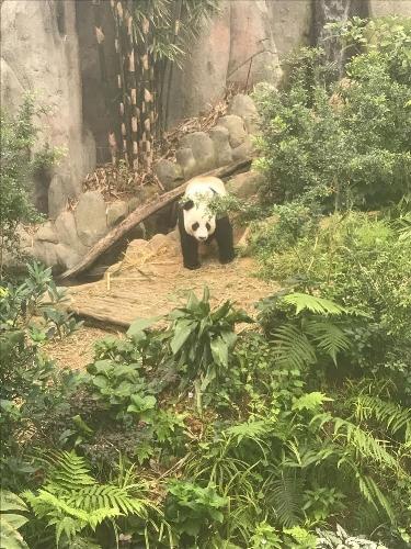 Singapore panda bear