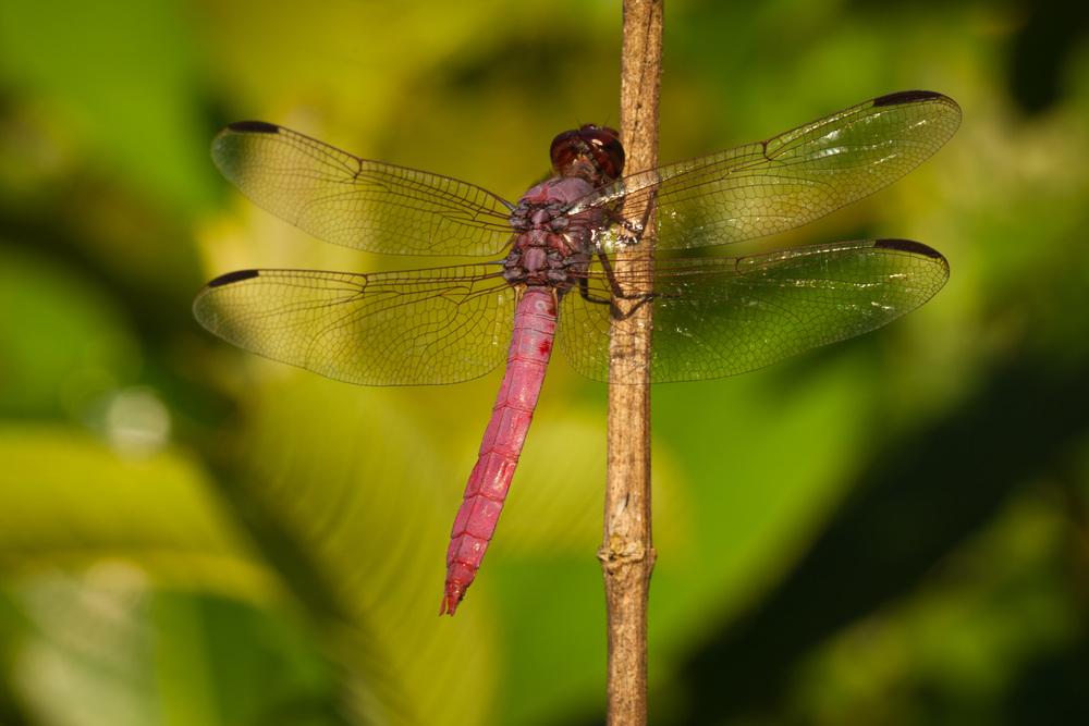 ArmenZohrabian_Dragonfly_Molokai_Hi.jpg