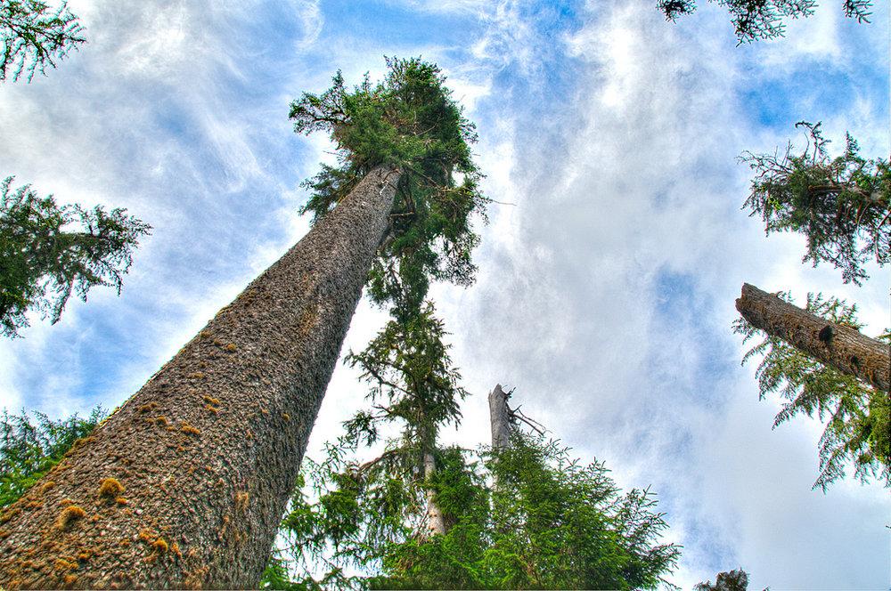 tall tree 2.jpeg