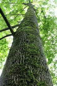 tall tree.jpeg
