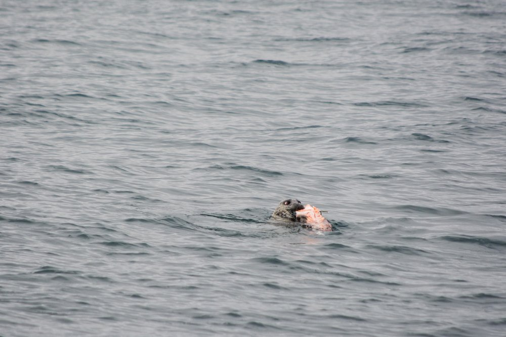 Harbor Seal with a Salmon