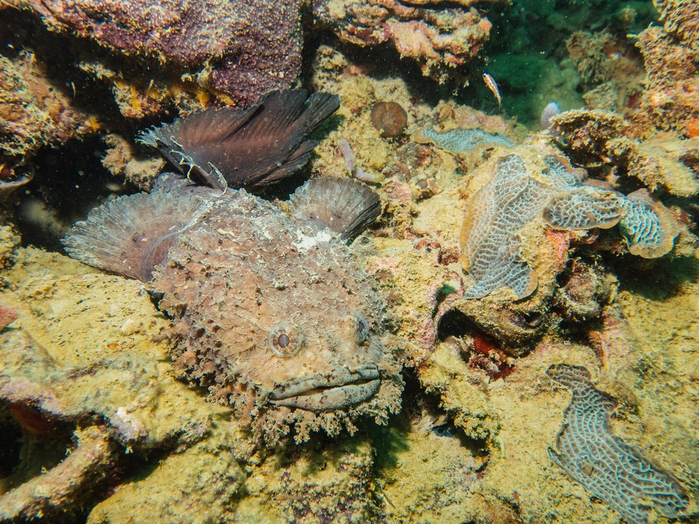 Bearded Toadfish