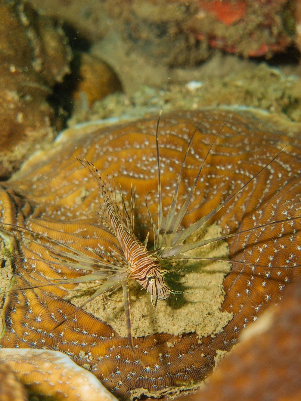Juvenile Lionfish