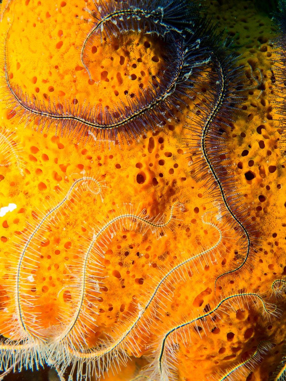 Sponge Brittle Stars