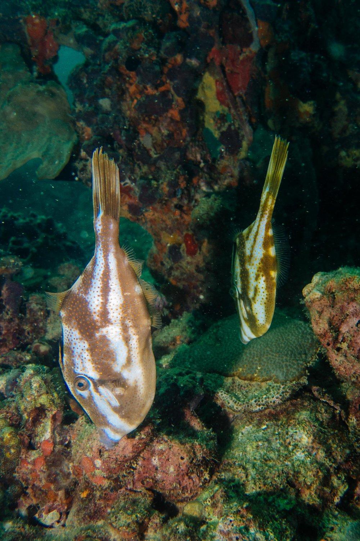 Orange Fielfish