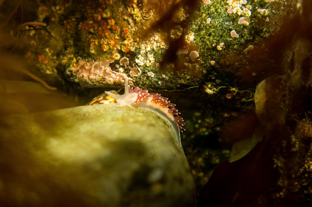 Red-Finger Aeolis nudibranch