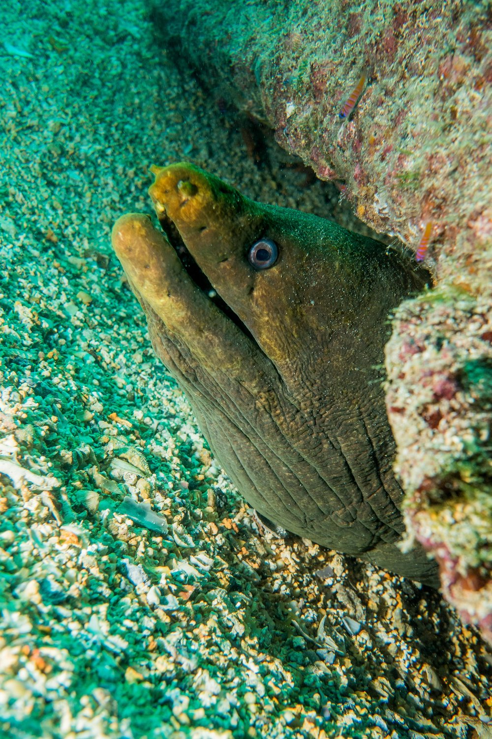 A Panamic Moray Eel.