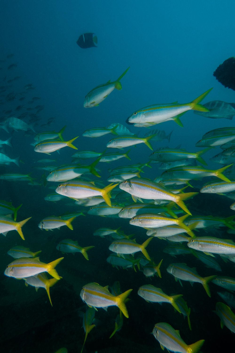 Mexican Goatfish