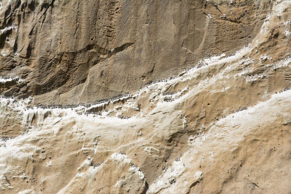 Razorbills line the cliffs of Drangey
