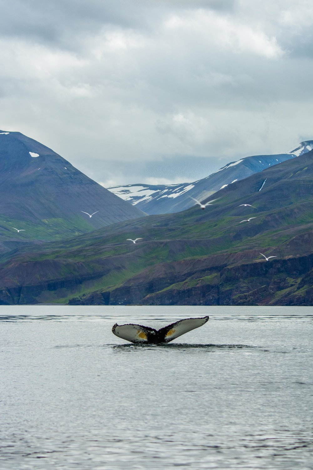 A humpback whale in Húsavík, diving down to feed on herring.