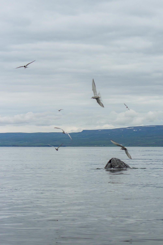 Humpback whale with Arctic Terns Húsavík.