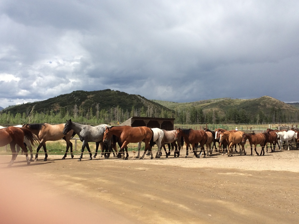 The Home Ranch Herd on their way up to the meadow for the night