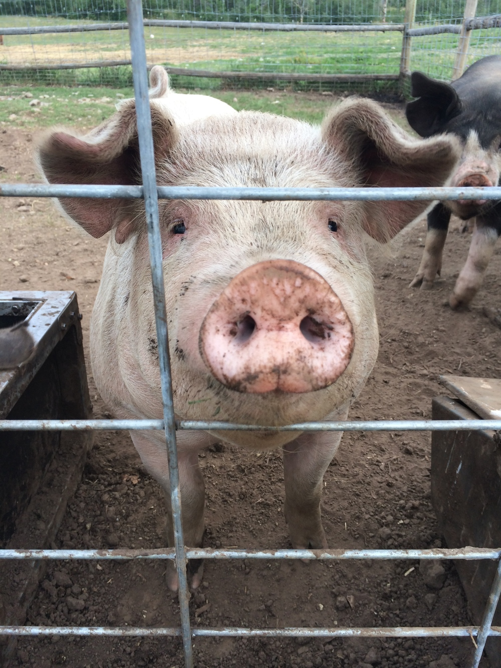 Pigs!!!