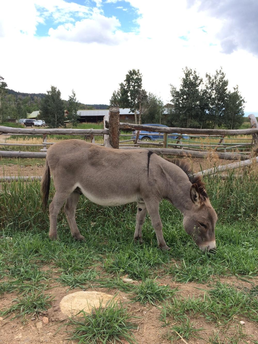 Poncho the ranch donkey