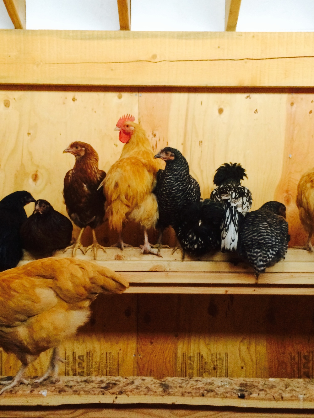 The Rooster & Hens