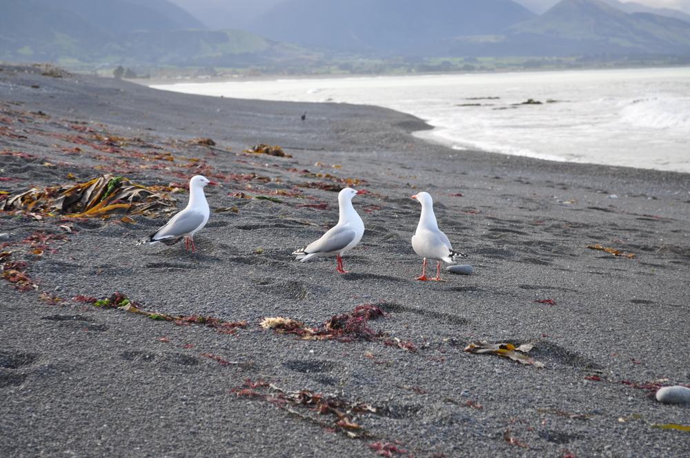 Seabirds on the Beach in Kaikoura
