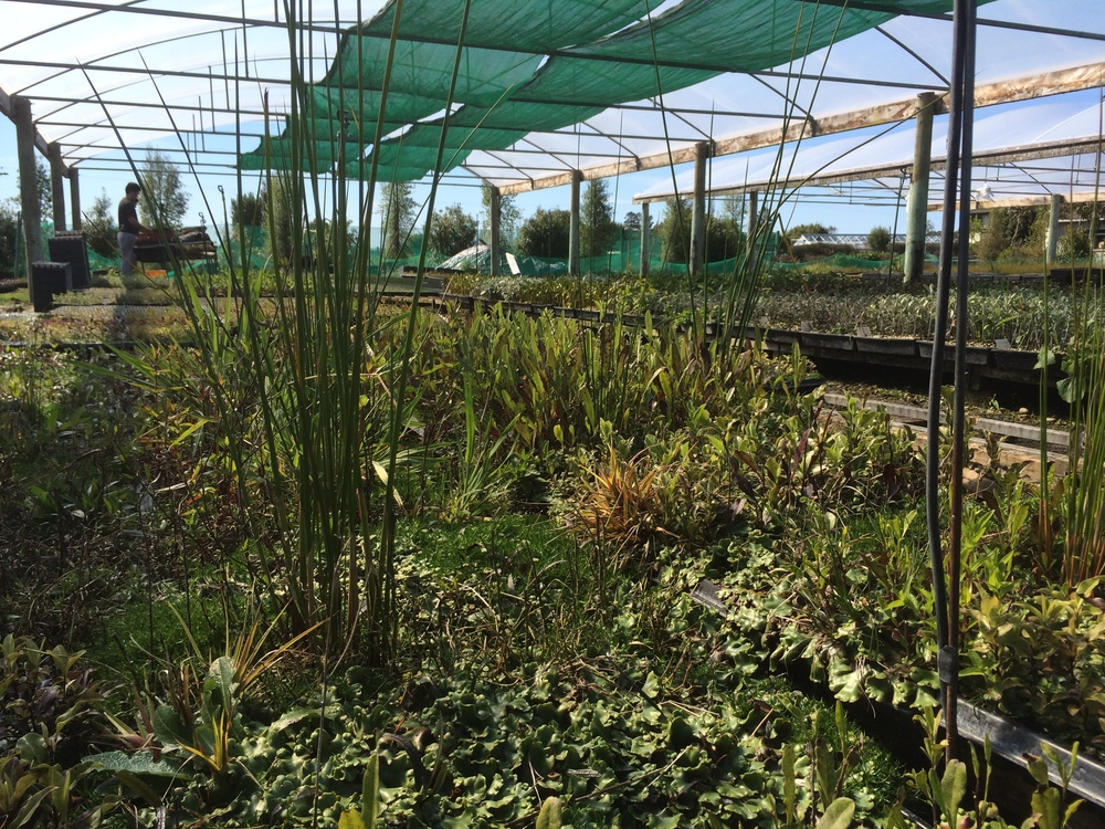 Always plenty of weeds to be picked and tidying to be done in the nursery