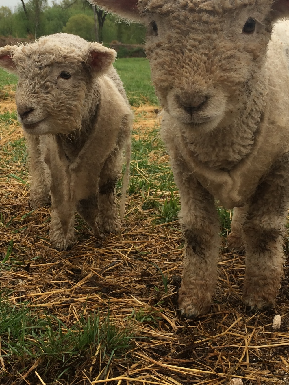 The baby lambs