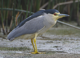 Black Crowned Nigh Heron