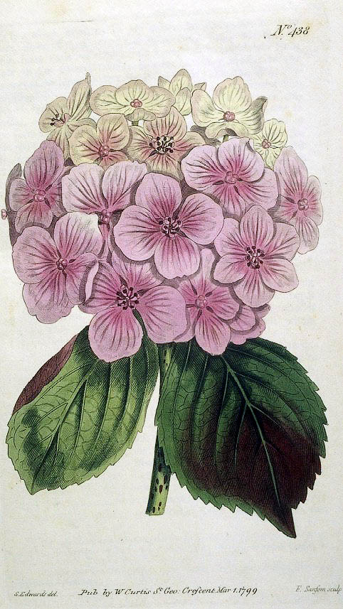 Known today as the Hydrangea macrophylla, this plant is a garden favorite. The flowers can be pink or blue depending on the alkalinity of the soils they are grown in. Illustration published by Curtis in London in 1799.