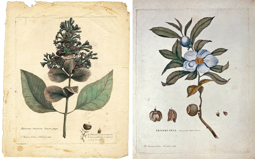 "James Trenchard engravings of two William Bartram drawings from the set of 8 rare extra plates:  ""Bignonia Bracteata"" (left) modernly known as  Pinckneya  or fevertree and ""Franklinia alatamaha"" (Image: American  Philosophical Socitey Library)"