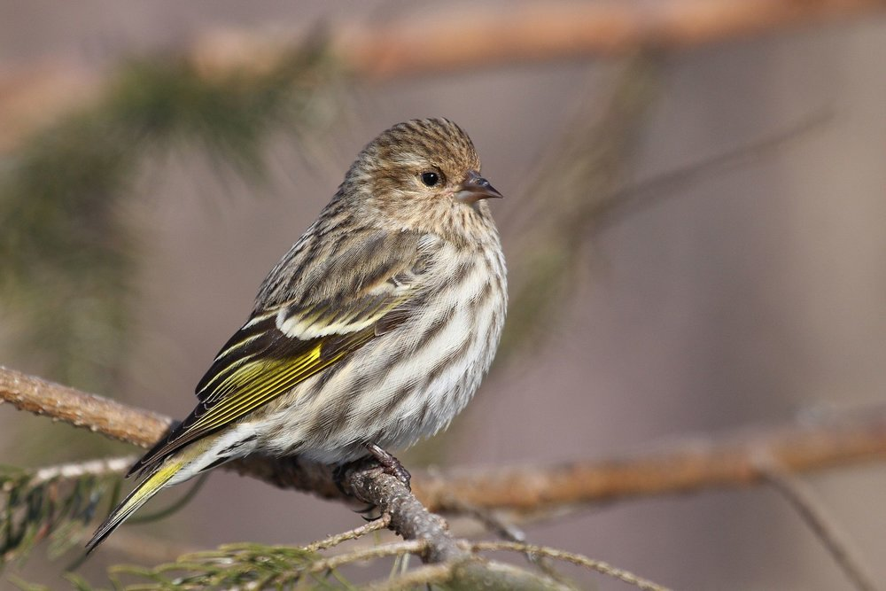 A Pine Siskin shows off the yellow in its wings and tail. Photo from Wikimedia Commons.