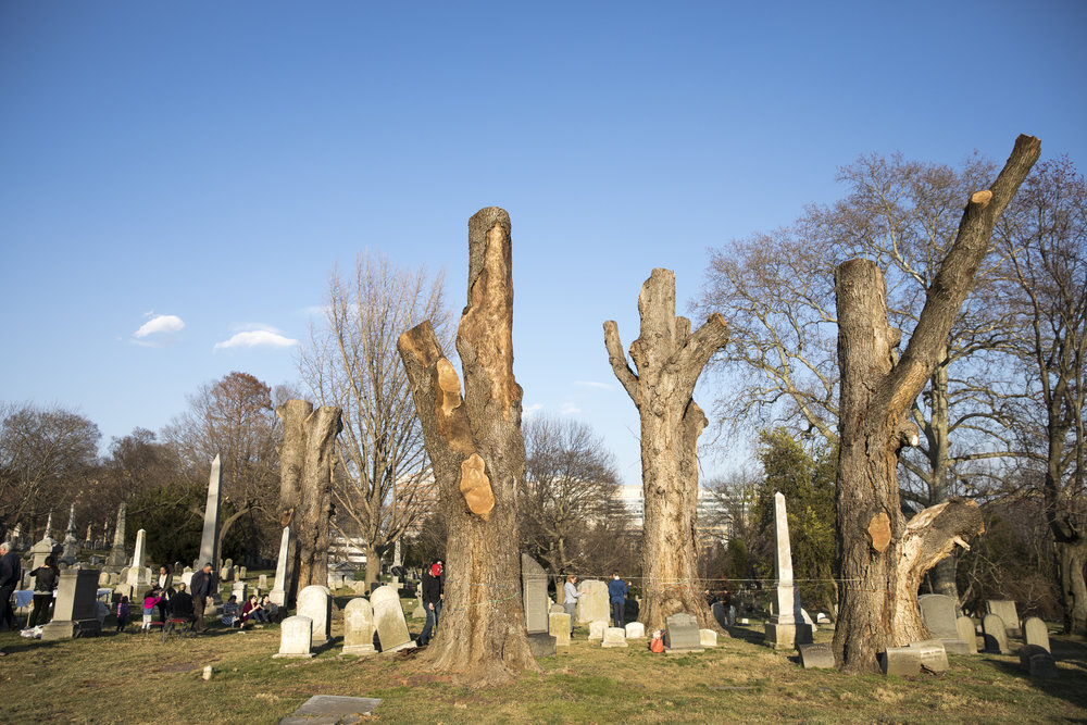Remaining four trunks of the Grove of Seven Giants. Photo taken by Ryan Collerd at the English Elm Memorial Service in March, 2017.