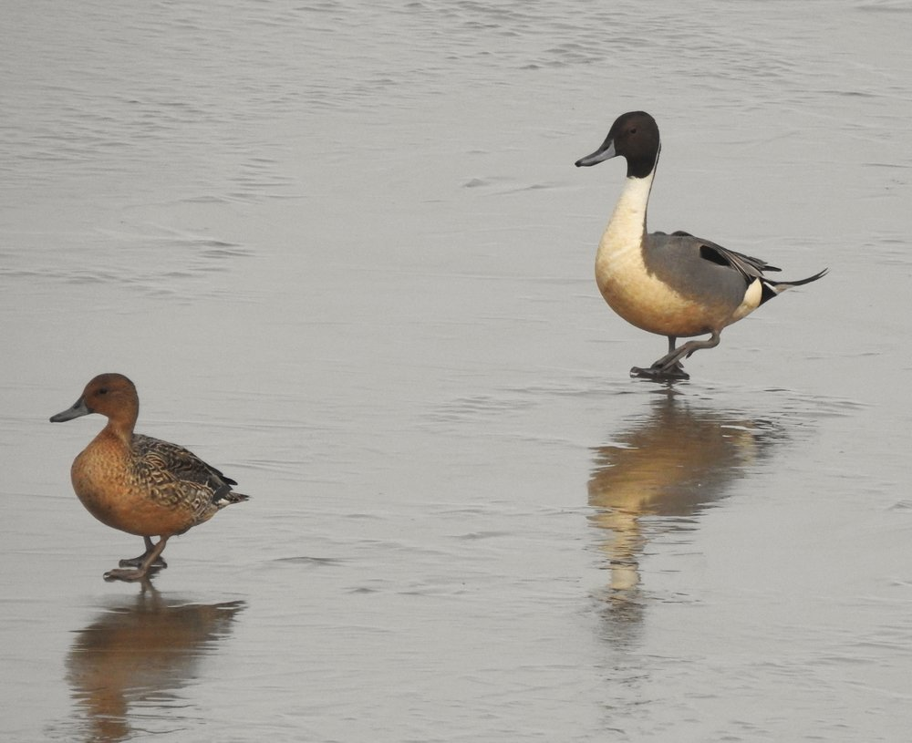 Northern Pintail pair, the male is on the right. Photo by Toribird.