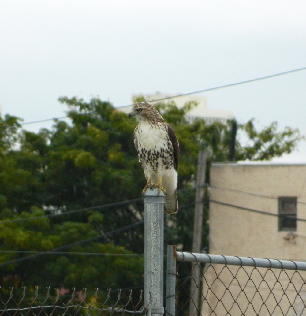 Red-tailed Hawk on Washington Ave. Photo by Toribird.