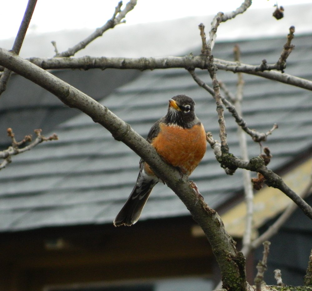 Colorful American Robin in a West Philly backyard. Photo by Toribird.