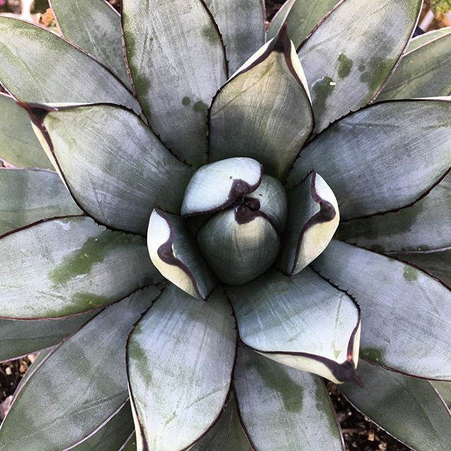 Agave 'Blue Emperor' #agave #crownvalleynursery #succulent #waterwise