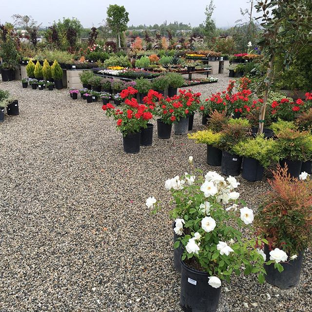 Our plants love rainy days #pasadena #garden #crownvalleynursery