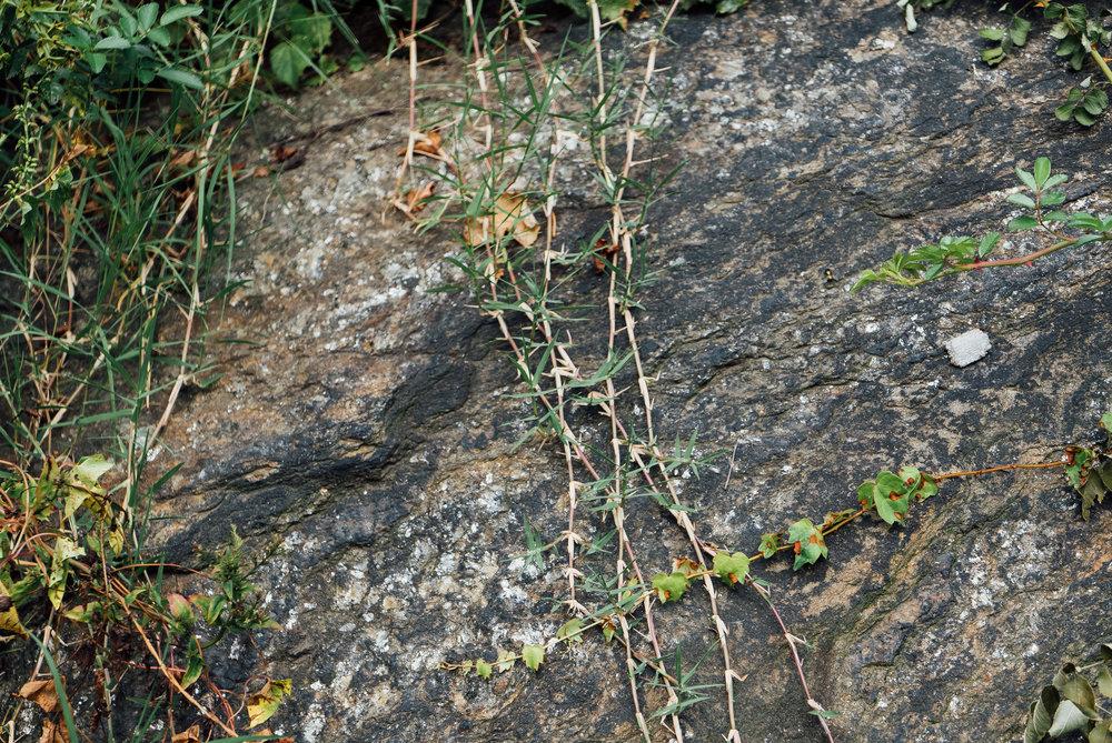 Cynodon dactylon -  a plant we found around Cleopatra's Needle.
