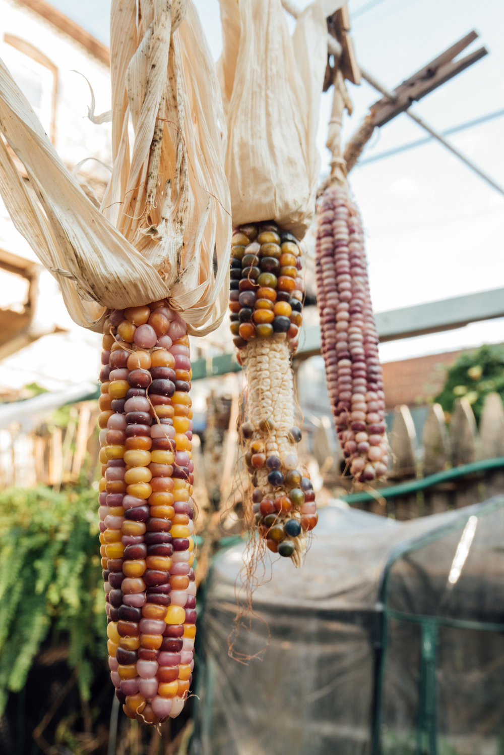 Decorative corn grown from seed for Halloween decorations.