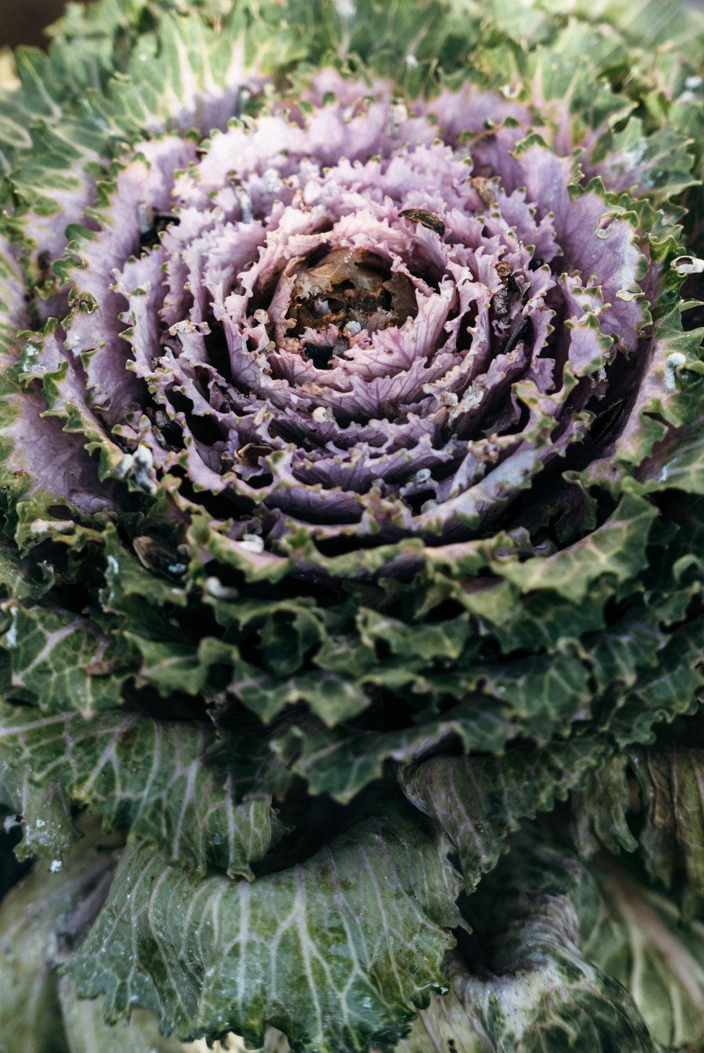 Ornamental Kales