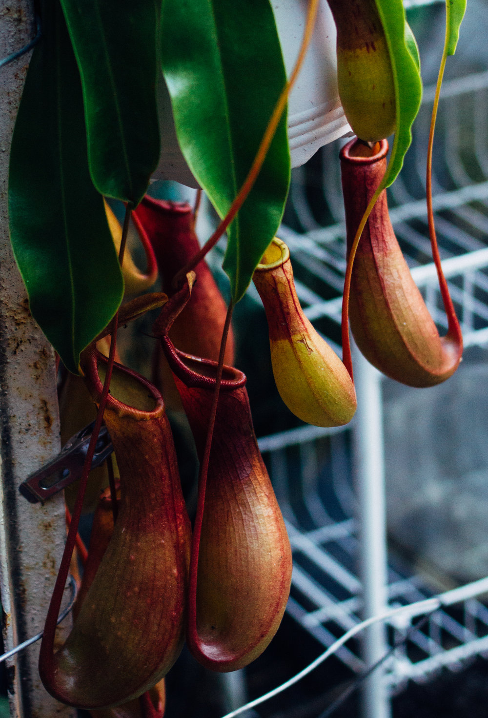 My fascination of carnivorous plants... This pitcher plant is hanging above the pond just waiting for lunch to be served.