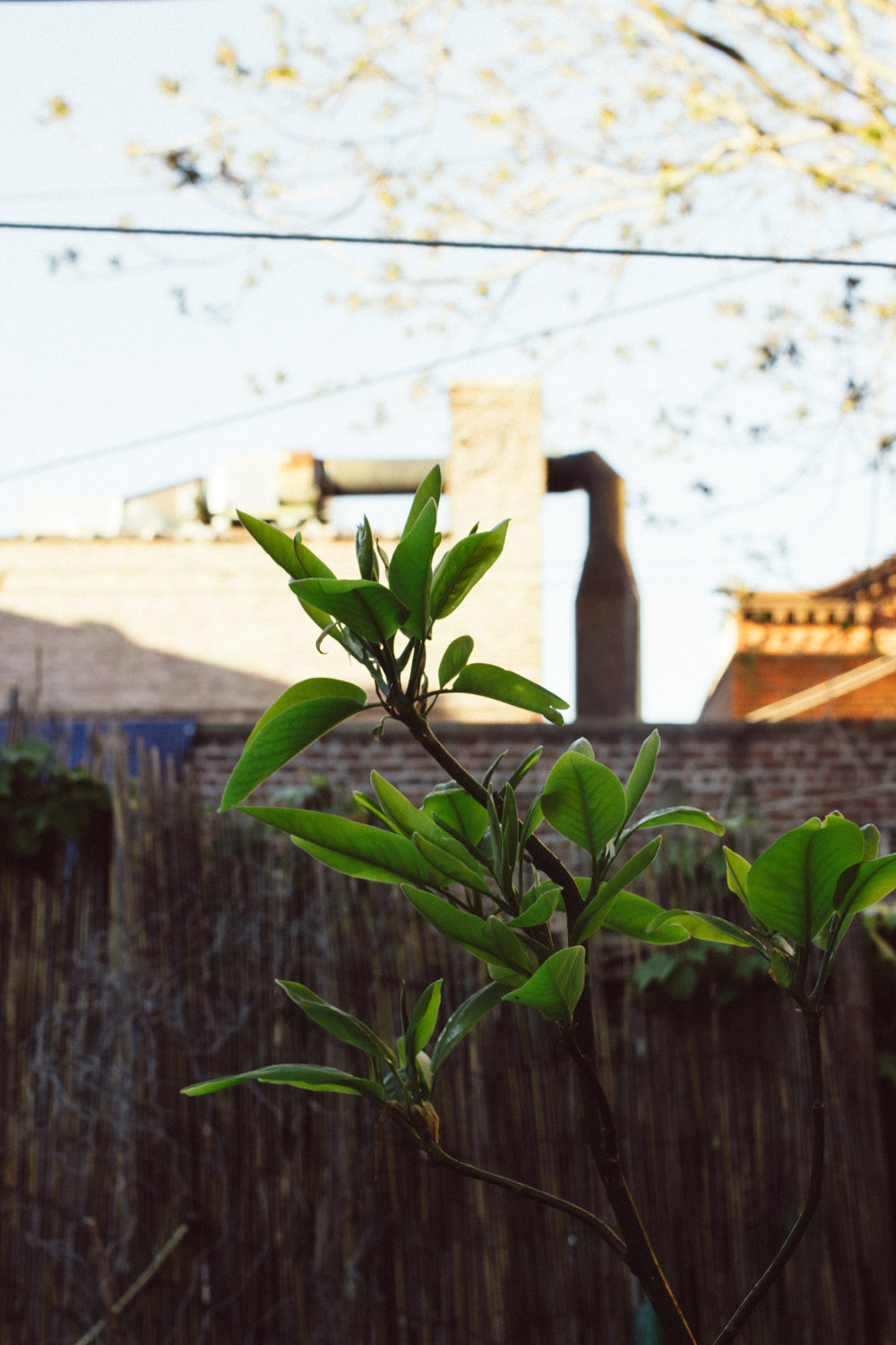 Magnolia tree now planted in the ground, in place of the dead tree. Hope to see it bloom again this year.