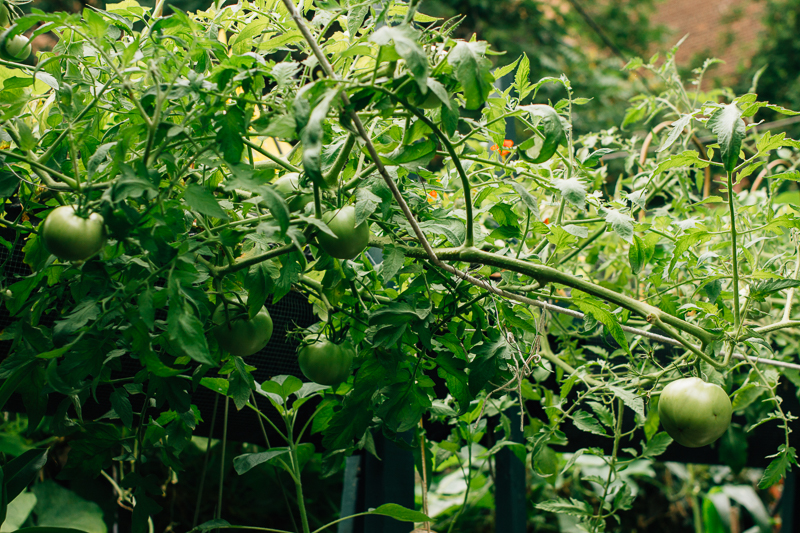 We pulled the tomato plants down and tied the stems to a thin wire. IThe tomatoes will pull itself back to grow in the direction of the sun and I will be able to harvest the tomatoes easier.