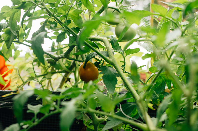 The tomatoes begin to ripen...