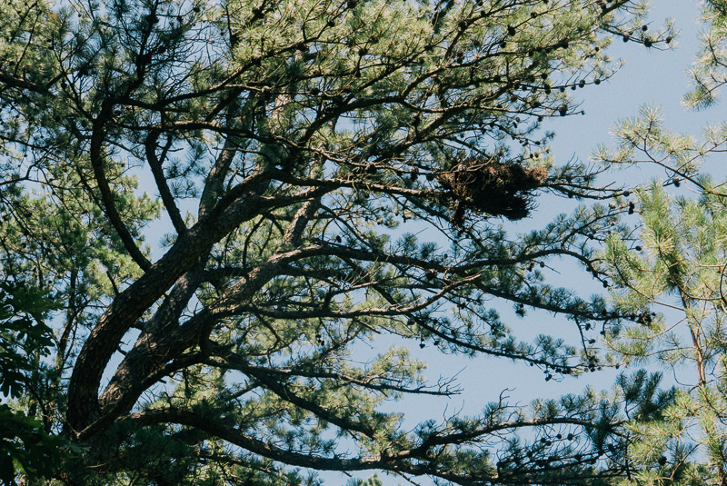 A nest in the pines..